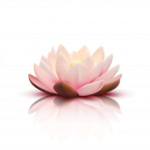 fleur-isolee-lotus-petales-roses-pales-reflexion-fond-blanc