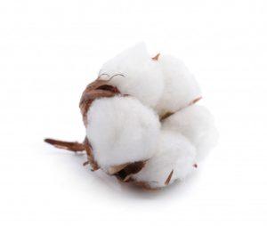 fleur-coton